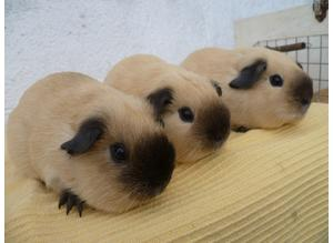 Guinea Pigs Californian , Cream , Buff and Self Whites Pls read ad for prices thanx