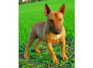 Miniature Bull Terrier lilac , blue , choco carrier stud