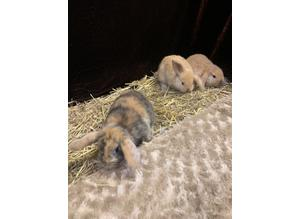 5 Stunning babies mini lops does females