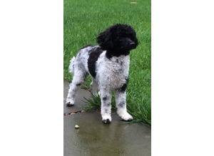 PROVEN Toy Poodle for Stud Artificial Insemination Available PRA clear