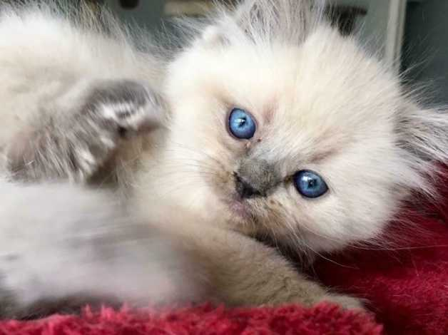 Vaccinated Fluffy Persian Kittens For Sale So Laid Back Can