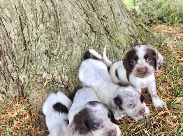 Chocolate Roan Cocker Spaniel Puppies In Maesteg Cf34 On