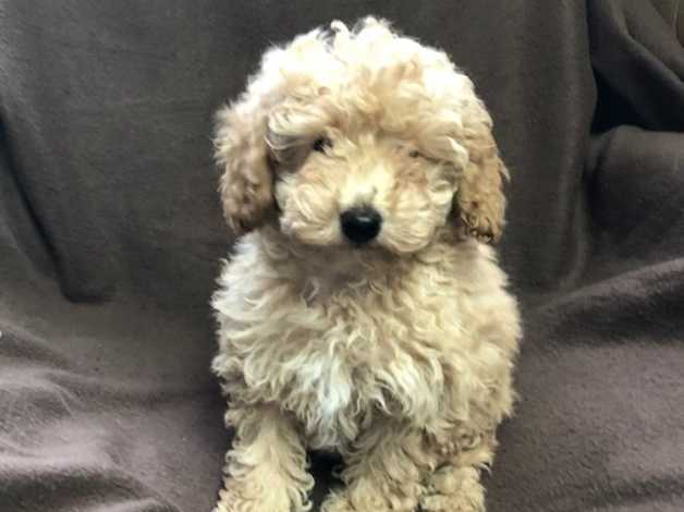 Adorable Toy Poodle Puppy For Sale Uk