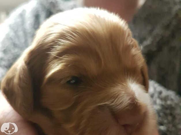 Cockapoo bitch puppies