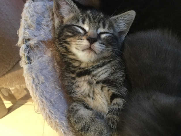 3 Female British Blue X Maine Coon Kittens In Newark Ng24 On Freeads Classifieds Mixed Breed Classifieds