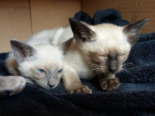 Siamese Kittens For Sale In Bradford On Freeads