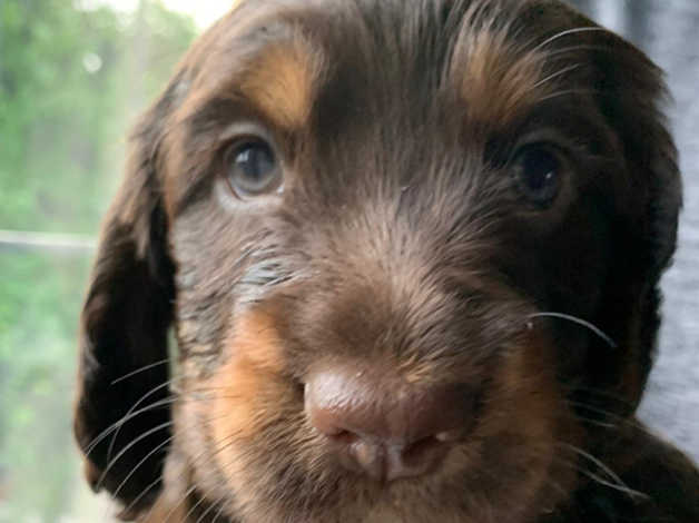 Stunning Working Cocker Spaniel Puppies For Sale Kc Registered 1000 In Liversedge Wf15 On Freeads Classifieds Cocker Spaniels Classifieds