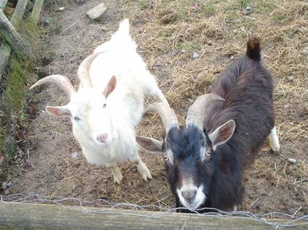 Image result for two billy goats