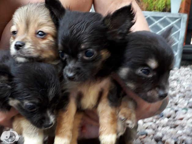Chihuahua Pups Dad Full Lilac