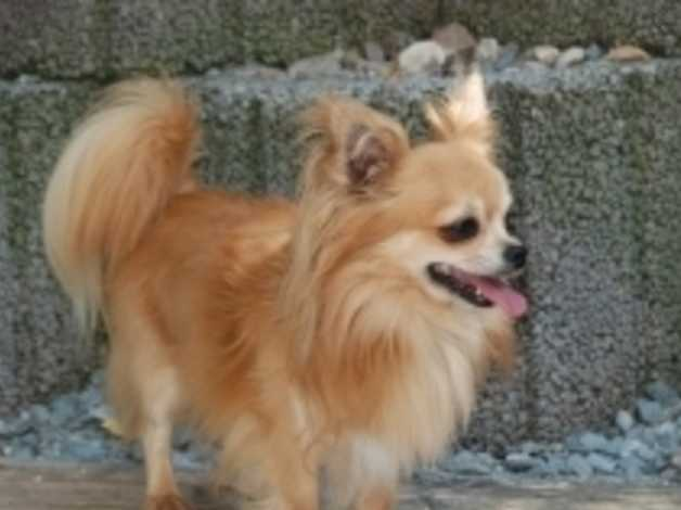 Looking For Long Haired Chihuahua To Give Forever Home In Maidenhead On Freeads Classifieds Chihuahuas Classifieds