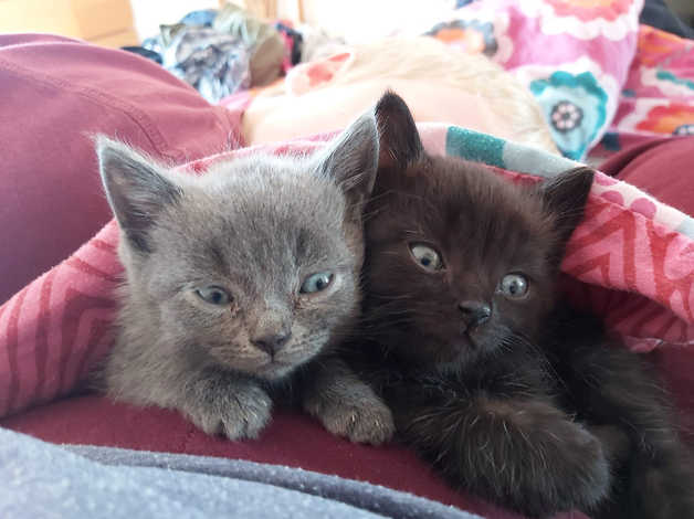 6 Russian Blue X Bengal Kittens Ready Now No Grey S Left Only 2 Black Boys In Ilminster Ta19 On Freeads Classifieds Russian Blues Classifieds