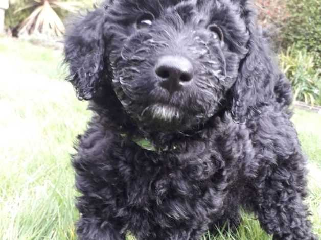 Spoodle Puppies Reduced Price In Totnes Tq9 On Freeads