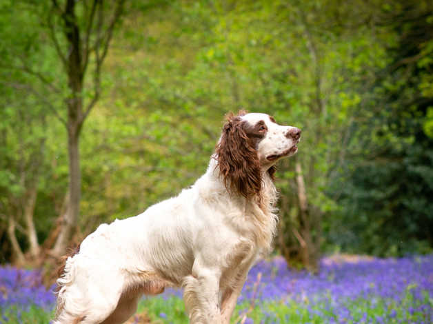 K c  Stud Dog English Springer Spaniel Health Tested in