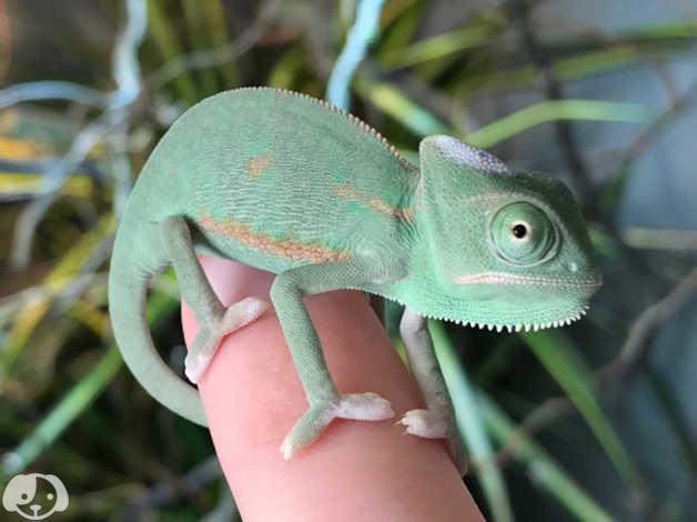 Yemen Chameleon Babies in Downham Market on Freeads Classifieds - Chameleons  classifieds