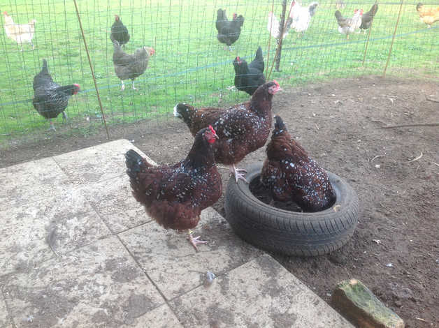 Hatching Eggs For Sale From Stunning Speckled Sussex