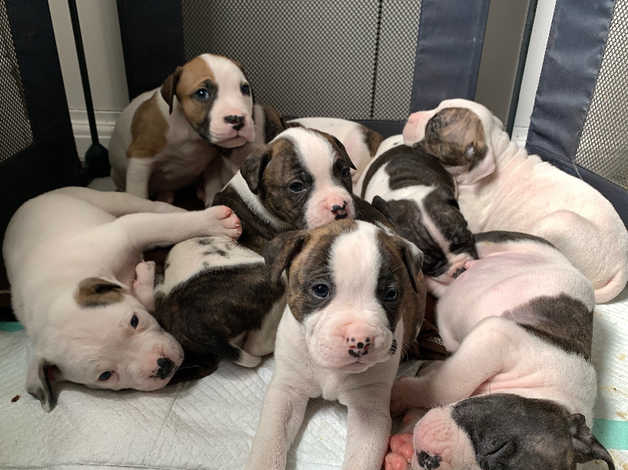 American Bulldog X Staffy Puppies In Gateshead On Freeads Classifieds Mixed Breed Classifieds