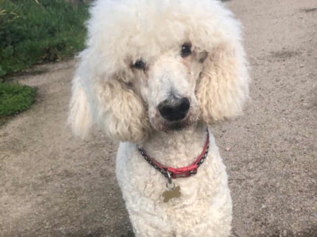 Pedigree Standard Poodle For Sale In Stonehaven On Freeads