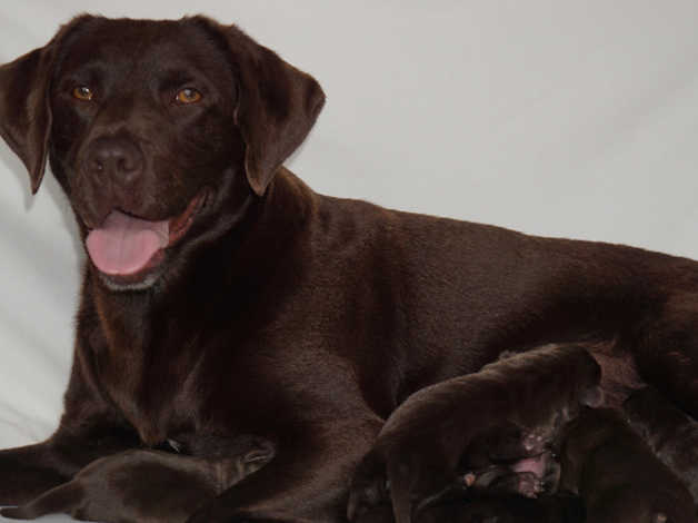 Chocolate Labrador Puppies In Derby De22 On Freeads Classifieds Labrador Retrievers Classifieds