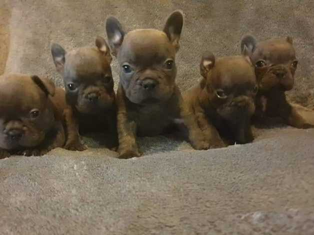 Ready To Go, Kc Blue French Bulldog Puppies in Heathfield TN21 on Freeads  Classifieds - French Bulldogs classifieds