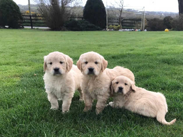 Golden Retriever Puppies in Hamilton ML3 on Freeads