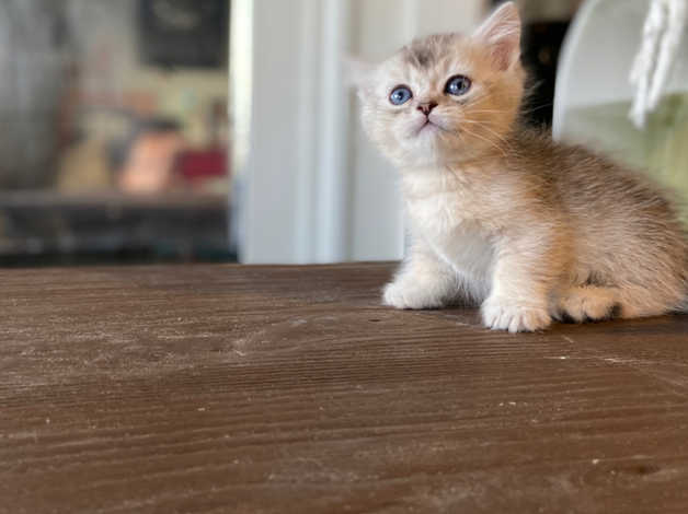 Super Cute Munchkin Kittens in Lambeth SW9 on Freeads Classifieds -  Munchkins classifieds